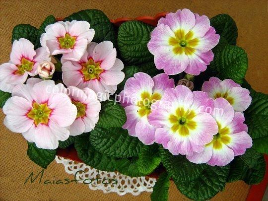 Pink primroses-Primula acaulis