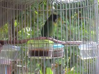 Tips Merawat Burung Cucak Thailan (Cucak Hijau Kepala Kuning) Agar Mapan Dan Cepat Gacor Bagi Pemula