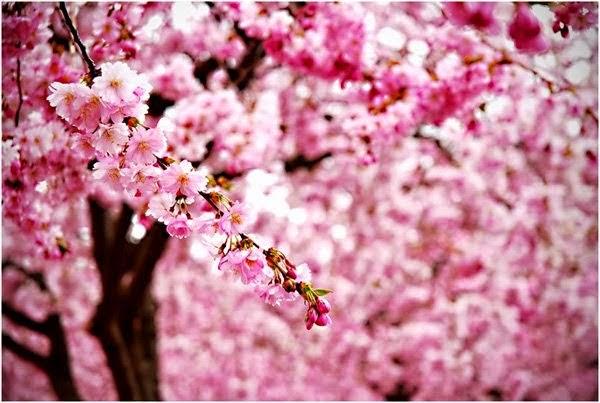Khám phá các thiên đường hoa anh đào trên thế giới