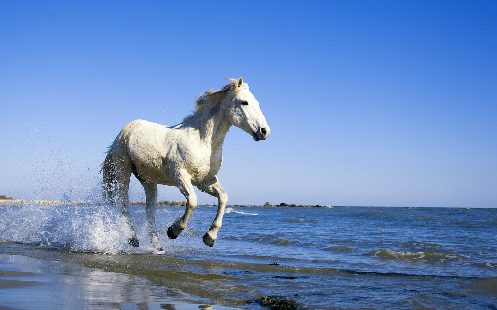 Camargue White Horse Hd Wallpapers Hd Wallpapers