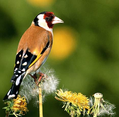 garden birds pictures,garden birds ,garden birds uk,garden birds ...  Birds