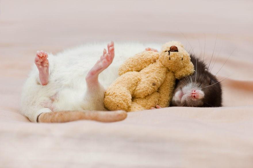 rato a dormir com urso