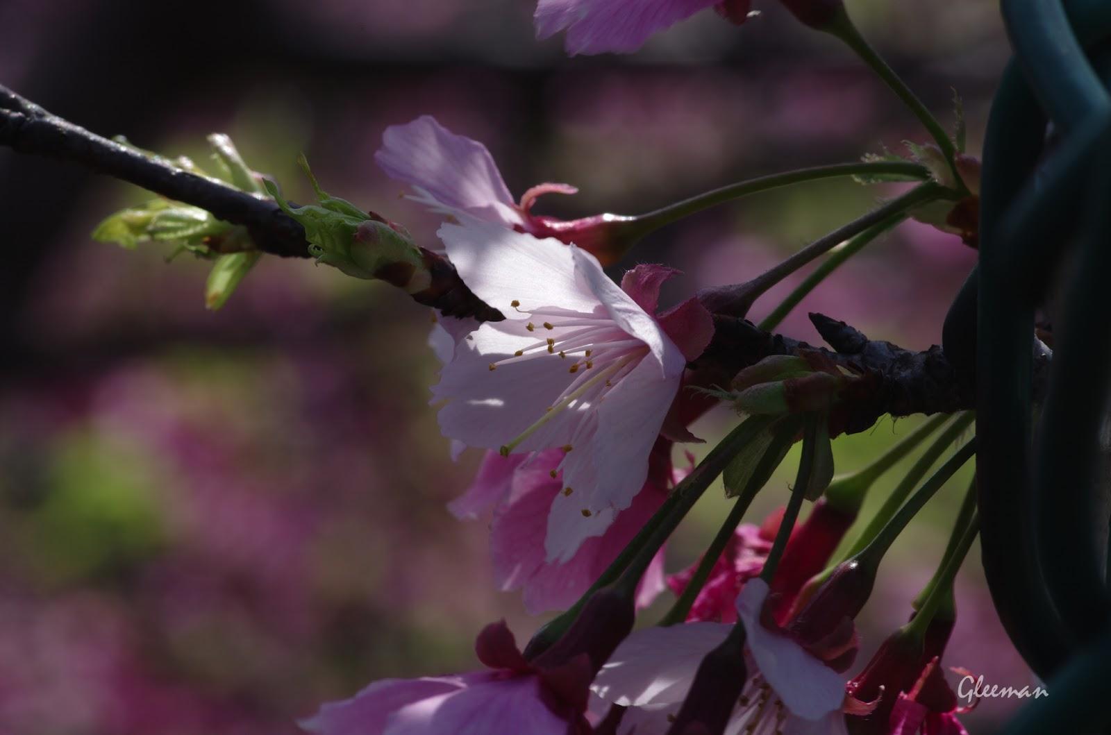 雞南山腳的櫻花