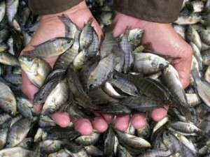 Step - step to Look For In Raising Tilapia For Abundant Results