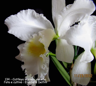 Cattleya warneri var. alba do blogdabeteorquideas