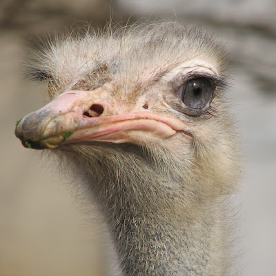 Ostrich Wallpapers