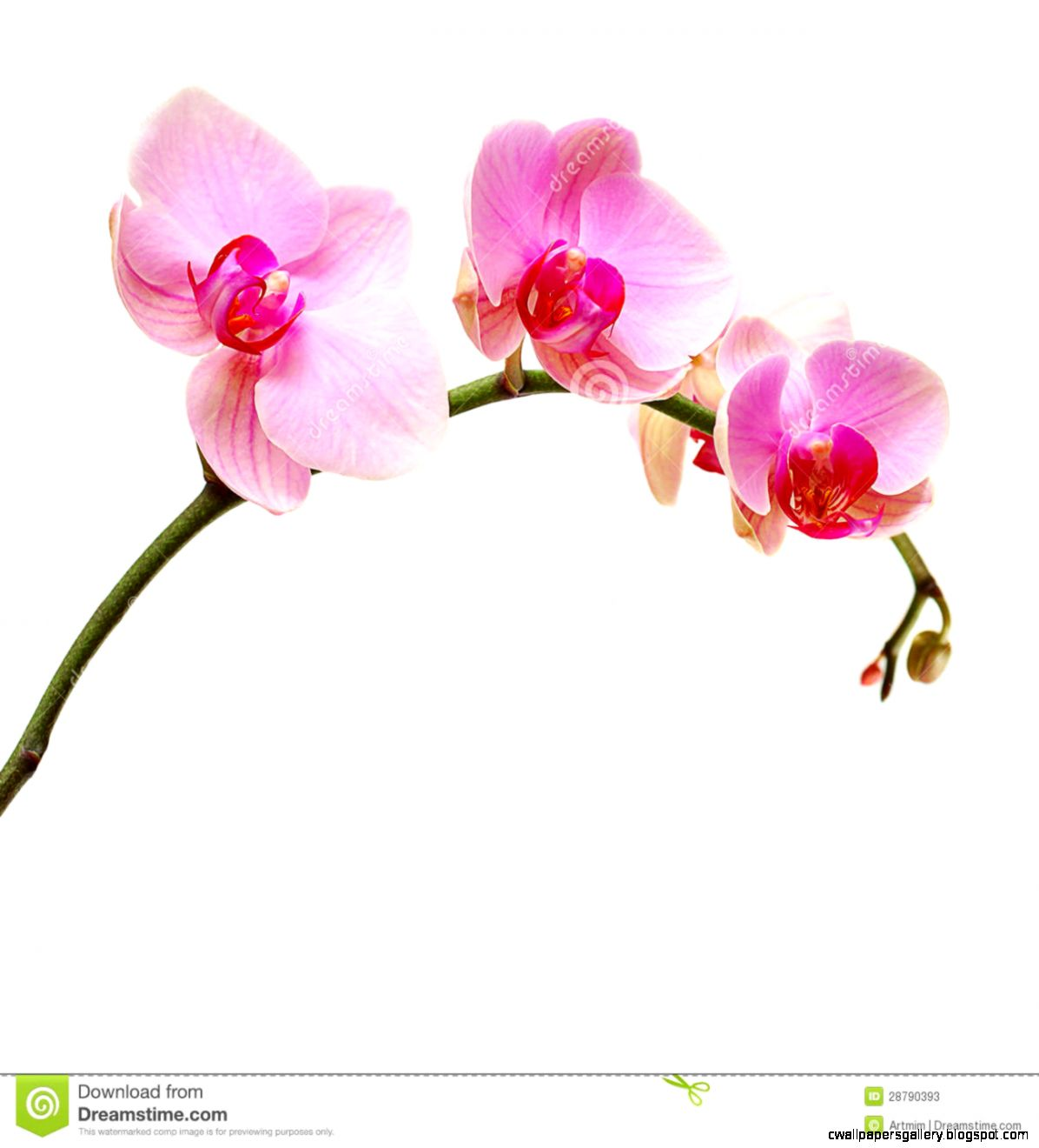 Pink Orchid Flower Stock Photos   Image 28790393