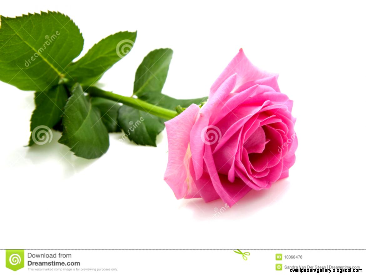 One Single Pink Rose On White Royalty Free Stock Image   Image
