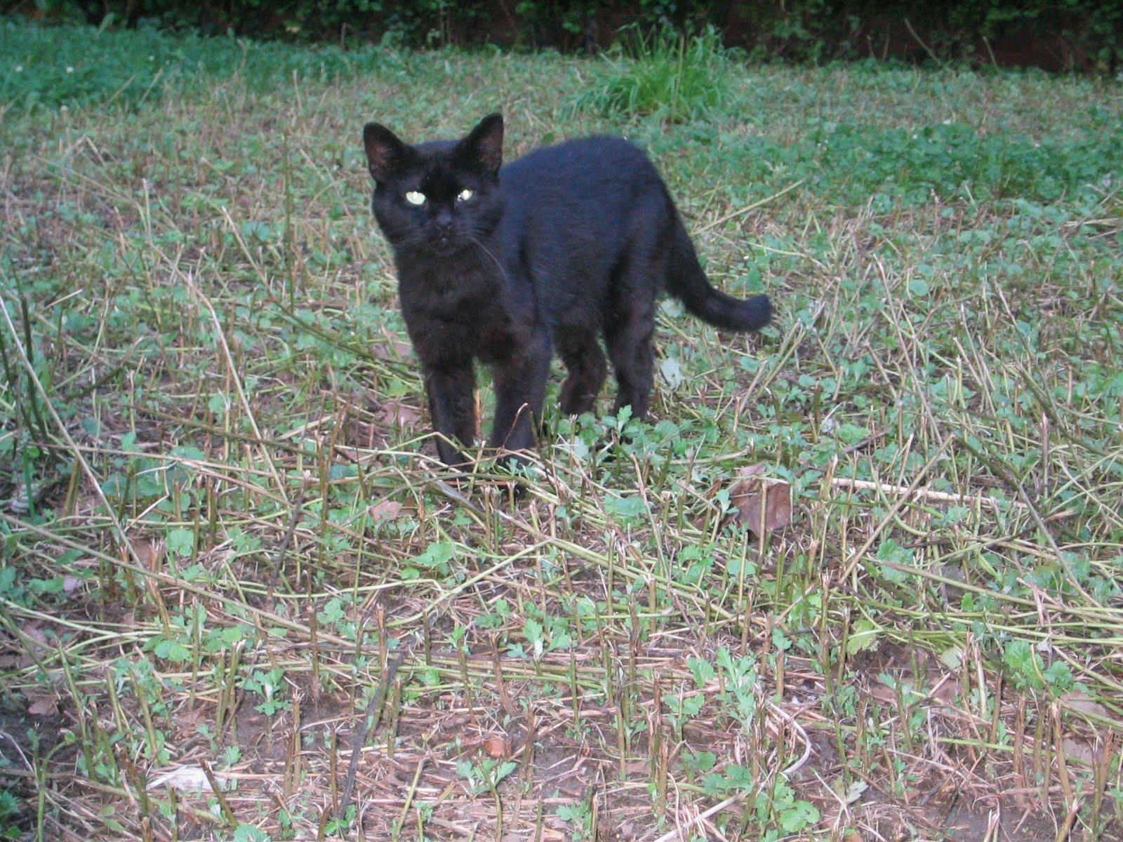http://3.bp.blogspot.com/-RctS-YeAoDk/TfGUV96YHRI/AAAAAAAAAdQ/66BetszUiJo/s1600/black+cat2.jpg