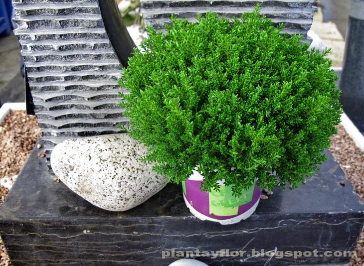 Plantas y flores hebe 39 green globe 39 for Arbustos enanos para jardin