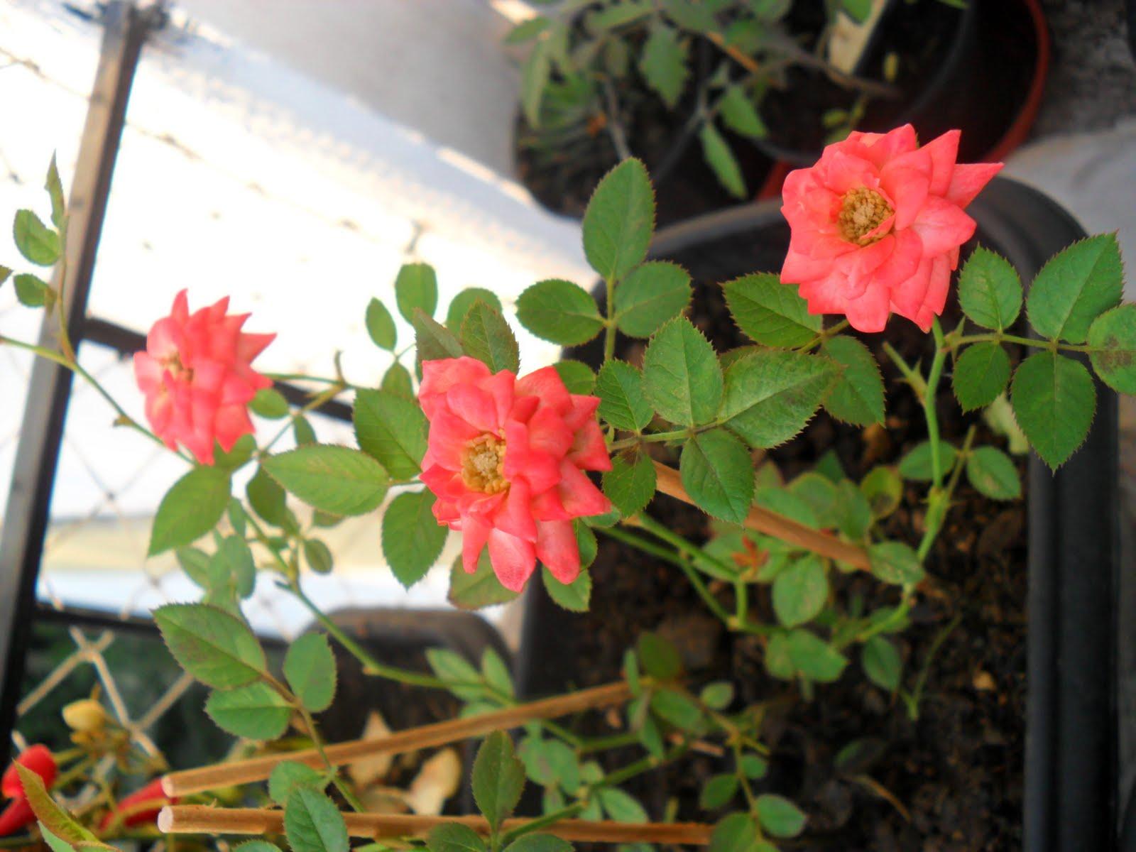 mini jardim apartamento:Meu pequeno jardim de apartamento.: Mini Rosas