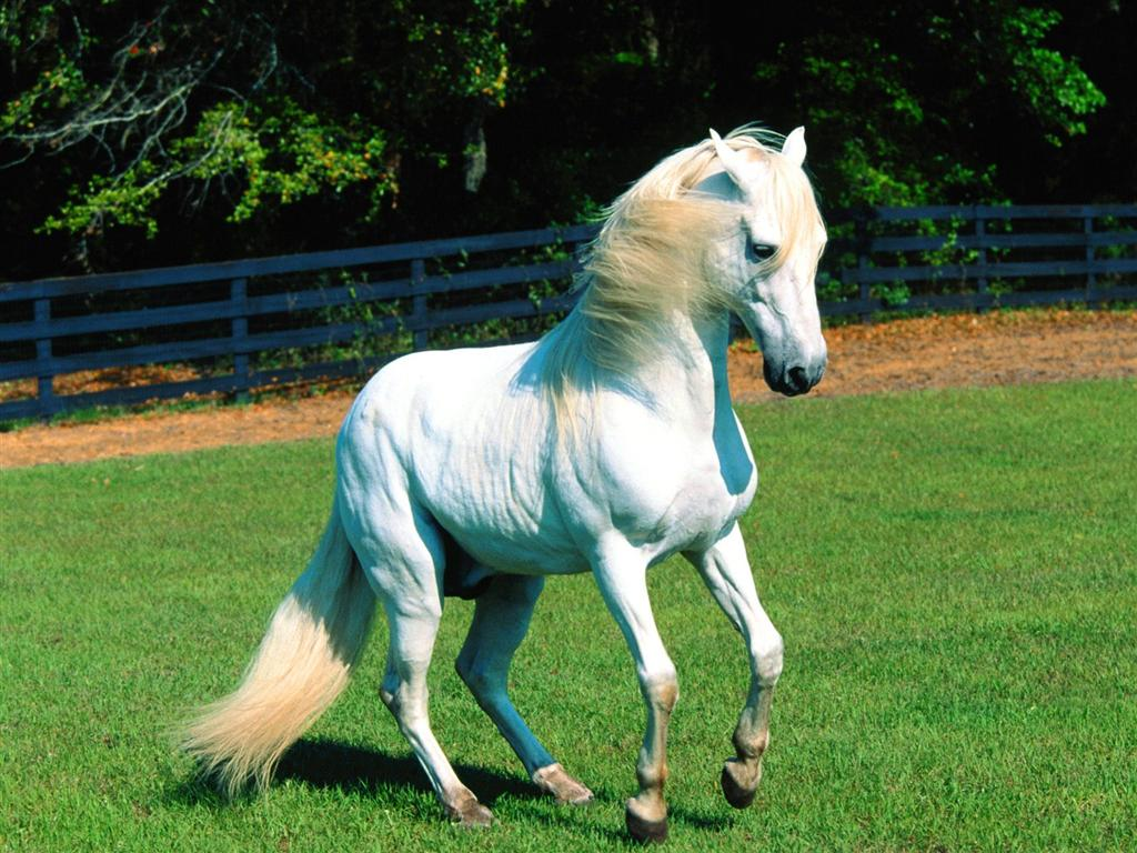 white horse hd wallpapers