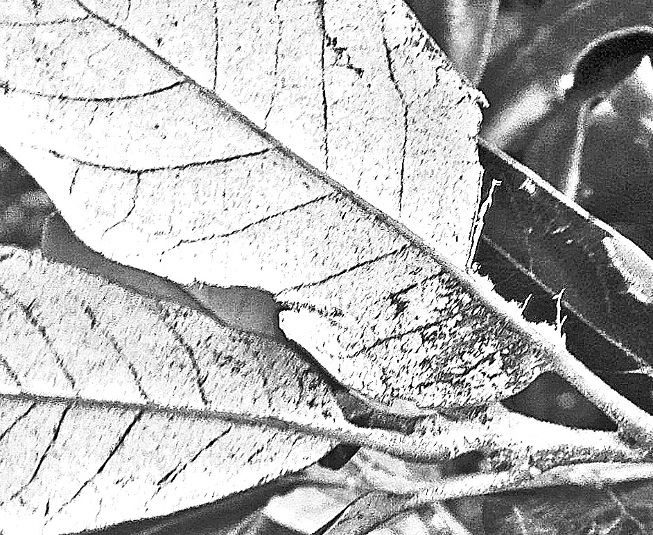 Black and white image of the underside of what may be Holm Oak leaves