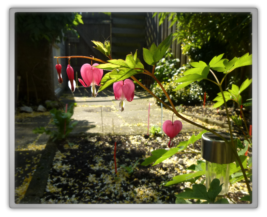 My backyard garden spring summer gardening Lamprocapnos bleeding heart cute hearts