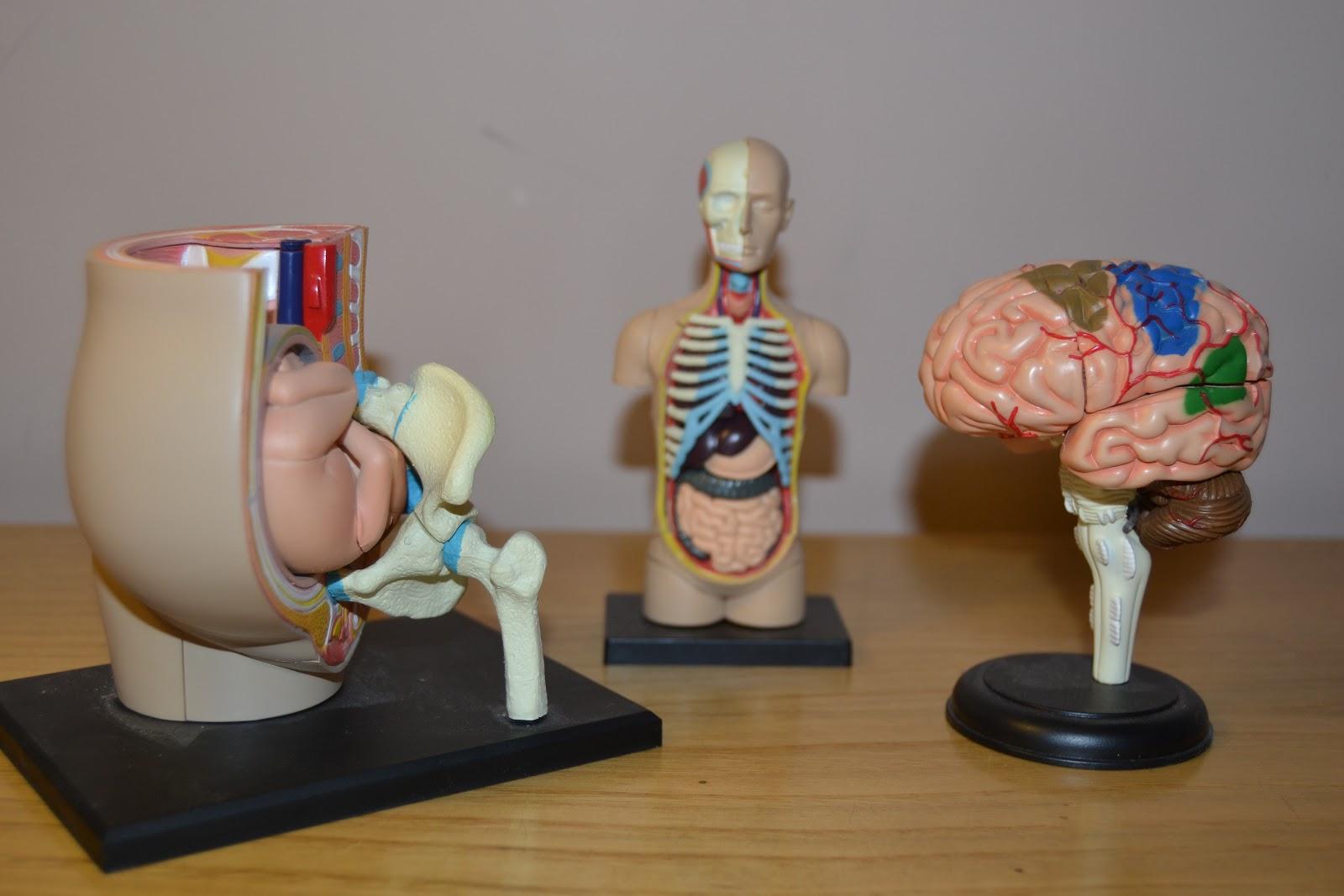 Expansión en Naranja: Proyecto educativo: el cuerpo humano