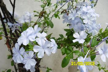 Jasmin del cielo, mi pequeño jardin 2012