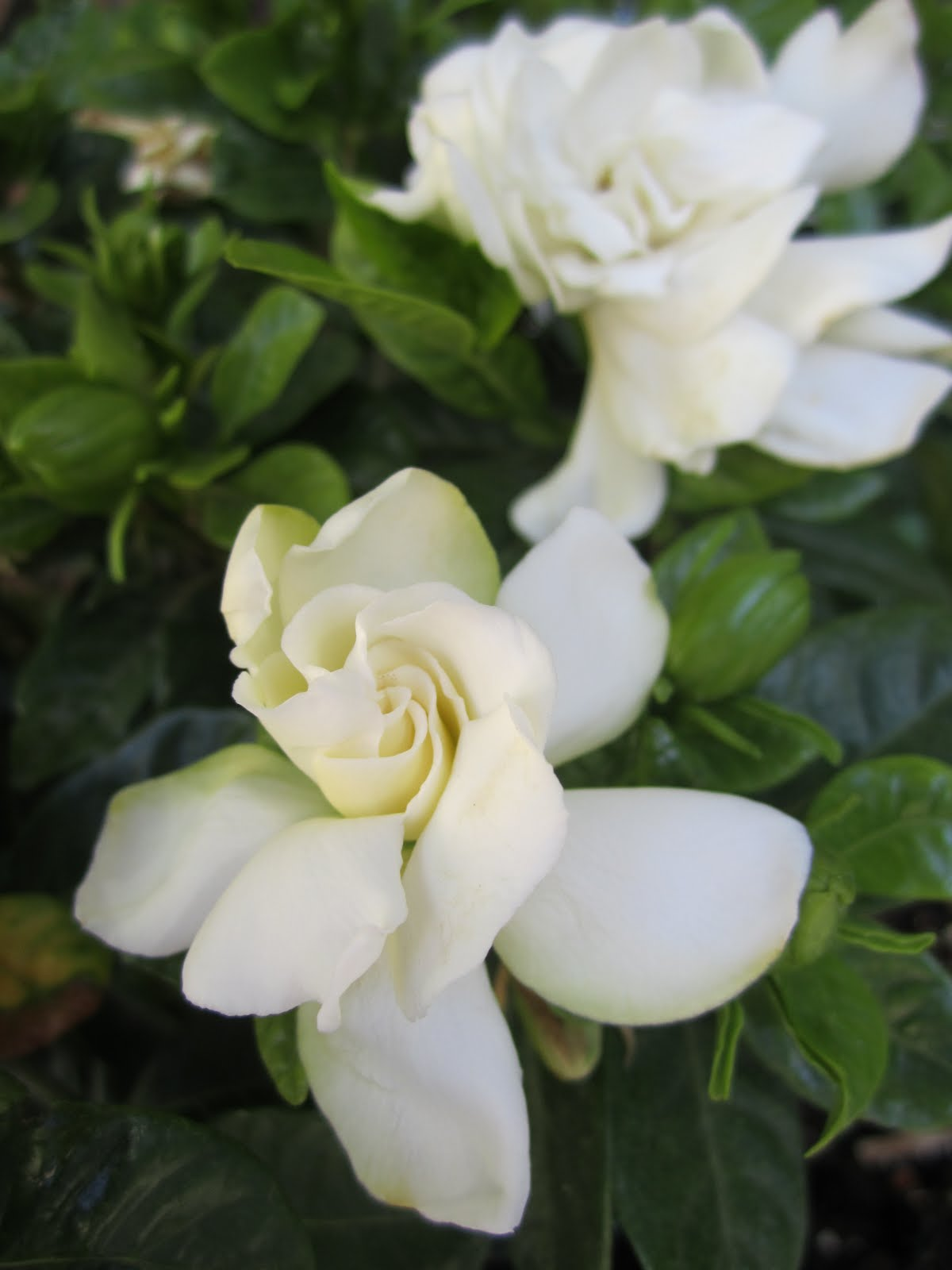 gardenias garden wendys hat