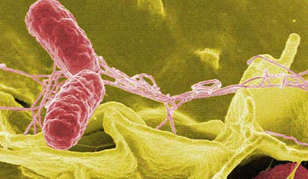 bakteri salmonella typhi