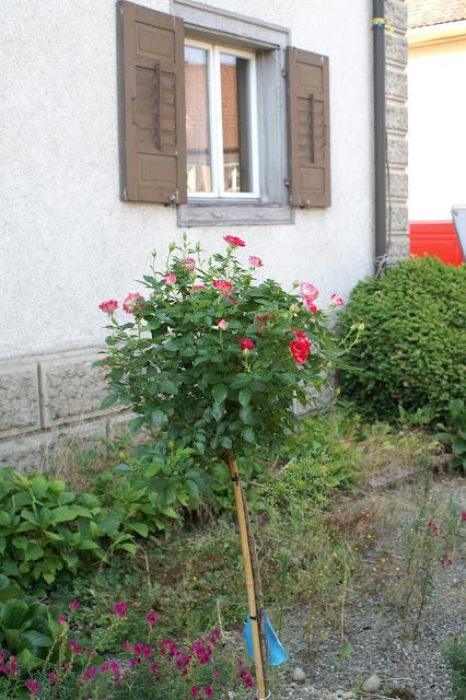 Rosenbäumchen blüht