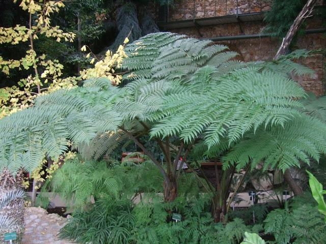 Cyathea robusta