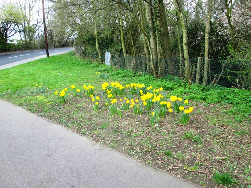 Daffodils planted by members of the Sopwell Residents Association