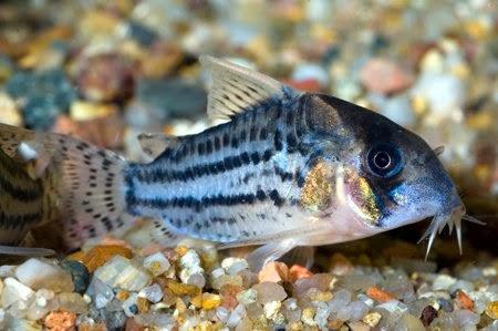 Corydoras Schwartzi – Akvaryum Kedi Balığı
