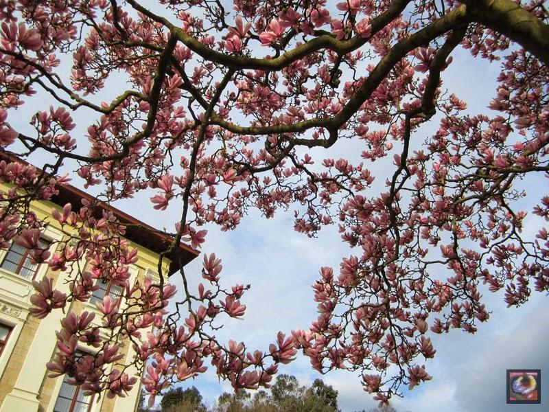 Magnolio (Magnolia soulangeana) de la Universidad de Deusto en Bilbao