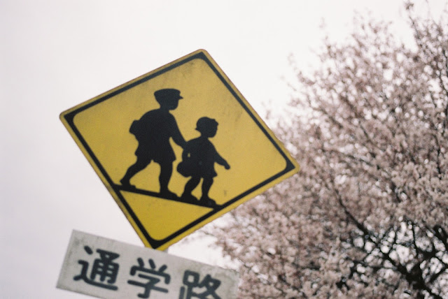 通学路の桜 children will go along this street for school