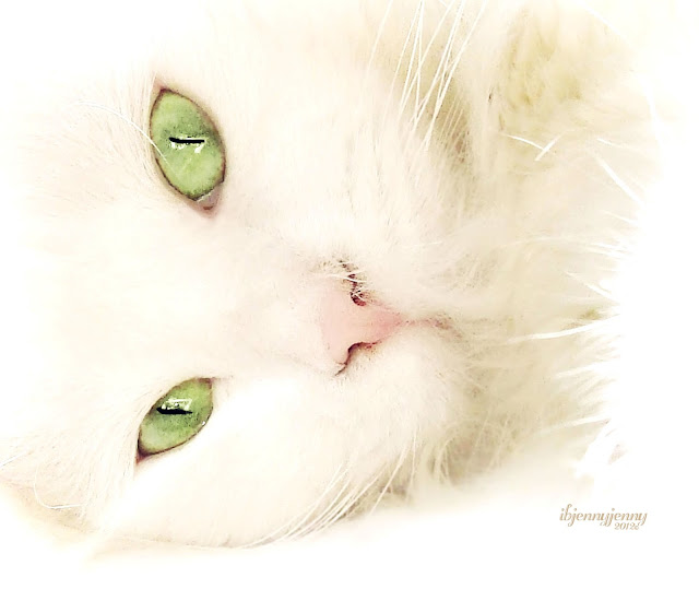 Real White Cat