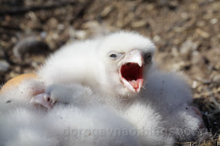 Птенцы сокола сапсана