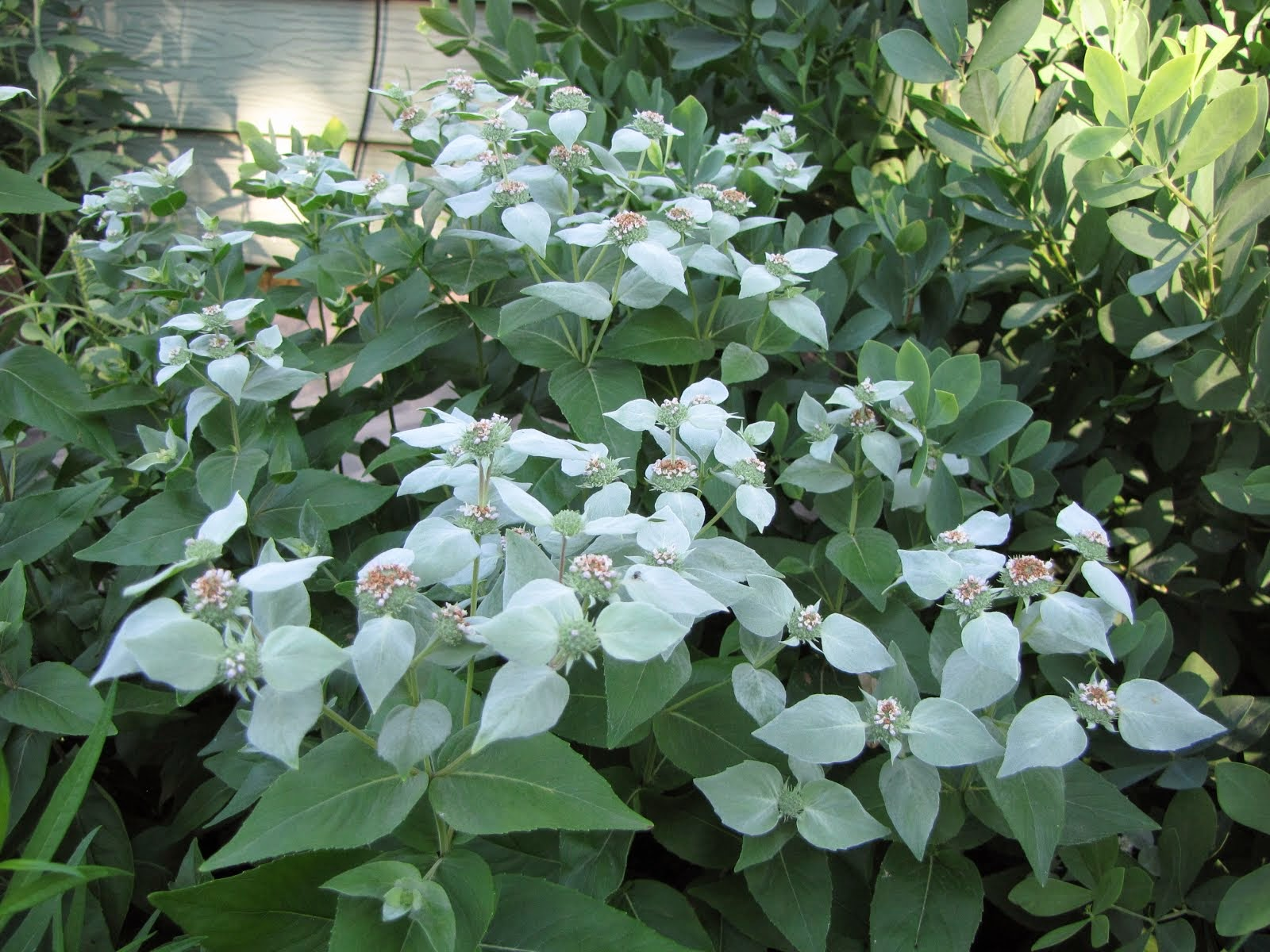 Short-toothed mountain mint
