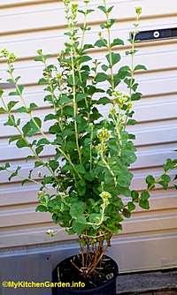 Stevia Plant in a Pot