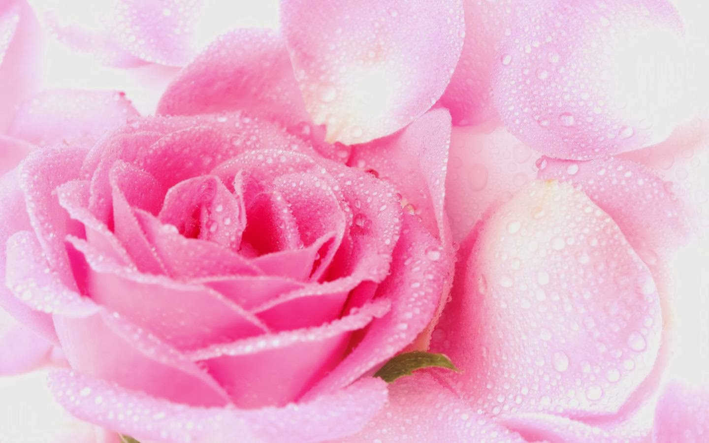 Pink Rose Wallpapers Beautiful Flowers Wallpapers