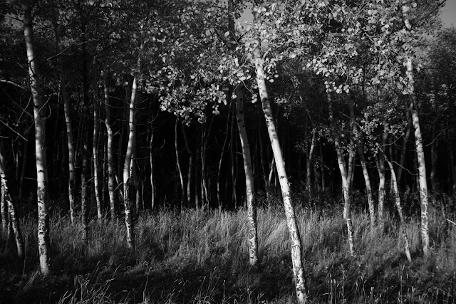 An early morning Aspen grove in Evergreen, Colorado.