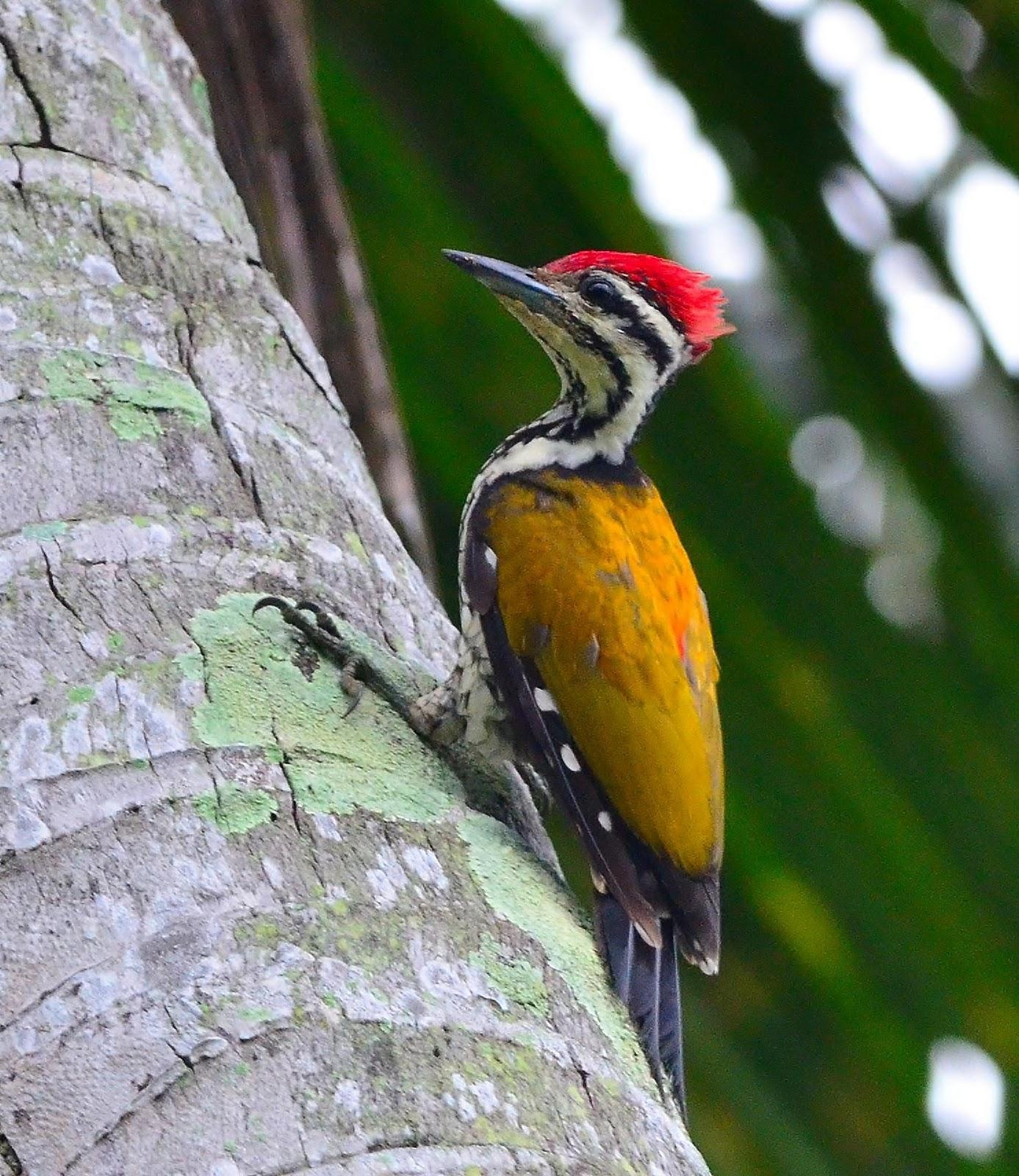 ksxbirds photography: common flameback Woodpecker@Dinopium javanense