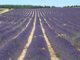 Lavender fields near Sault on the Plateau d'Albion