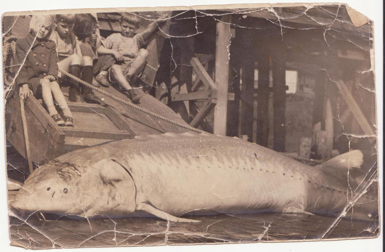 Whonnock History Notes: Giant sturgeon