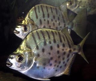 scatophagus 40 jenis Ikan hias air tawar yang banyak dipelihara di Indonesia  wallpaper