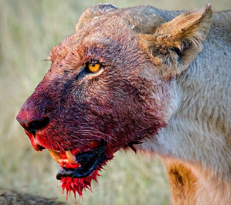 львица растерзала свою добычу - морда в крови