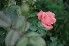 La rosa de sor cecilia