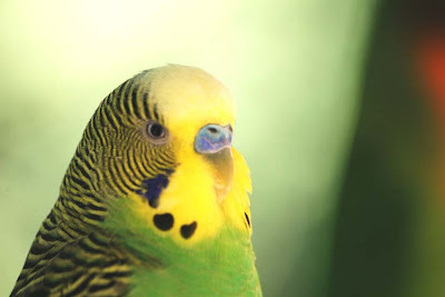 Parakeet Bird Pictures