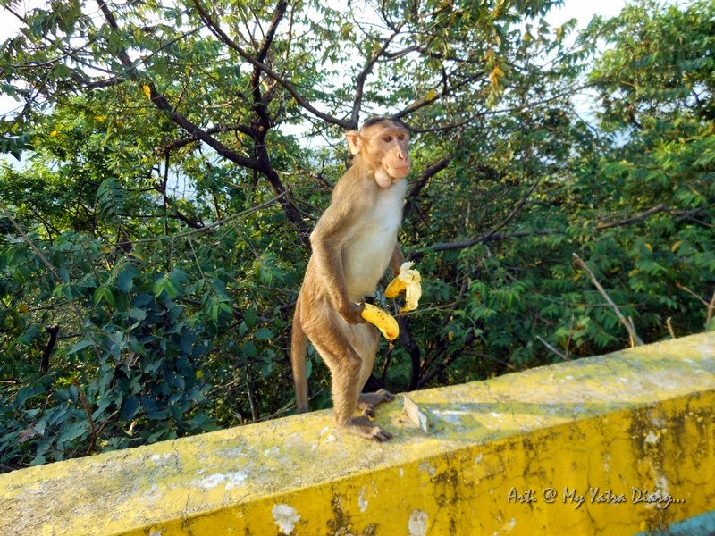 Monkeys eating bananas along the fence, Mumbai Pune Expressway, Maharashtra, India