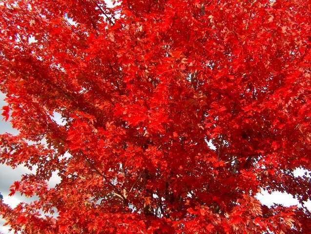 Autumn Blaze Maple Tree3