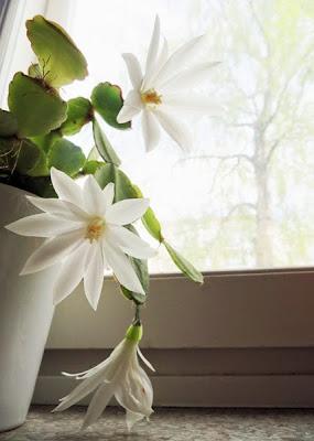 Spring Cactus by Morrgan