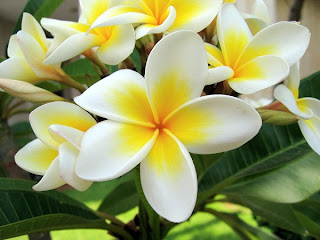 Bunga kamboja