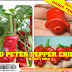 Bibit RED Peter Pepper