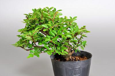 ニレケヤキ-M1(楡欅盆栽)Ulmus parvifolia bonsai