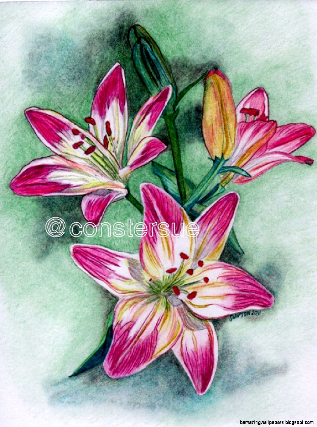 Lily Flower Drawing Color | Amazing Wallpapers