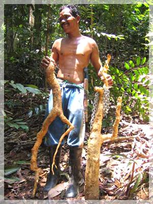 obat tradisional indonesia gallery pasak bumi