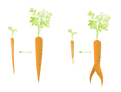 diagram of carrot roots
